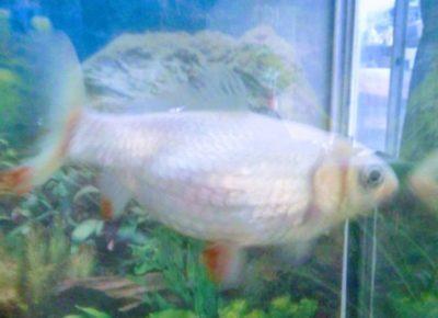 20年生きた金魚